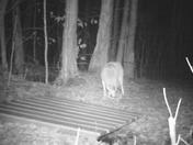 Coyote visit