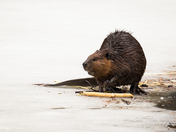 Beaver on the Ice