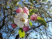apple blossom time !