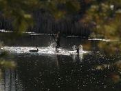 Canadian geese: dispute
