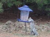 Very hungry mr squirrel in my backyard in Mooers