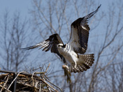 Osprey at the Iroquois Lock