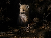 Adorable little Fox Cub
