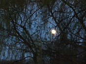 Moon rise through the willows