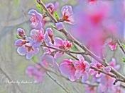Beautiful Pink Peach Blossom