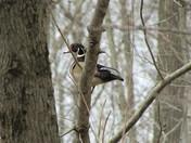 Little Wood Duck