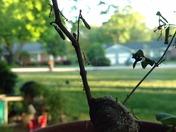 Praying Mantis hatchlings .