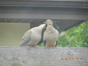 Two Love Doves