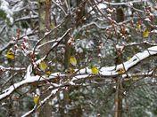 Daffodils in April 26 Snowstorm