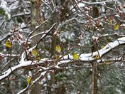 Goldfinches in April Snow
