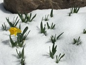 Daffodil waiting for Spring