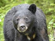 Mamma Bear.