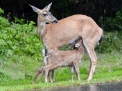 Fawns Feeding.