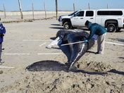 Humpback whale washes up on Duxbury Beach
