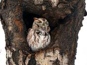 Eastern Screech-owl /Petit-duc maculé
