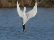 Down Tern