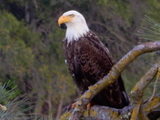 Folsom Bald Eagle