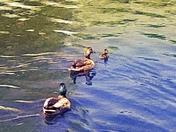 Fallow the Duck