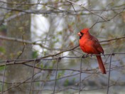 Cardinal on Port Elgin Trail