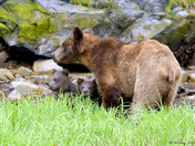 Rain Bears