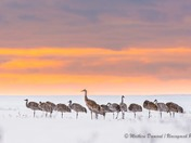 Sandhill cranes in the sunset