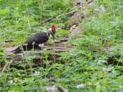 Piellated woodpecker