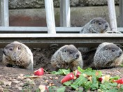 ADORABLE  Baby Groundhogs