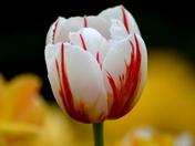 Lonely Tulip!!!