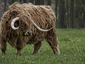 Majestic Highland Steer
