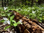 Ontario Spring Trilliums
