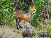 Mother Red Fox With Baby