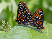 Mating Baltimore Butterflies
