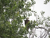 Bald Eagle Spotted in Norman