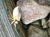Cicadas in Greene County