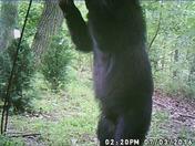 Woodbine Bear