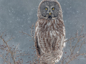 3c. Great Grey Owl