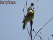 Dickcissels on the prairie