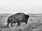The Majestic Bison