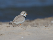 Piped Plover