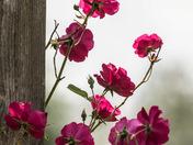 Roses (4031)