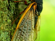 Cicada season 2016