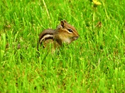 Chipmunk sitting pretty