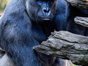 Harambe taken at the Cincinnati Zoo in April
