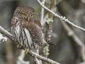 Northern-Pygmy Owl
