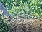 Hanover eagle nest!
