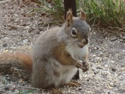 Squirrel smiling from mooers ny