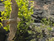 lost falcon
