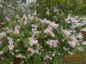 Russian Lilac