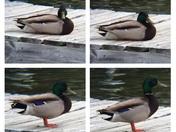 Mallard on the dock