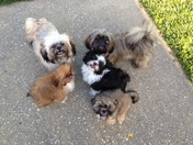 5 Shih Tzu puppies